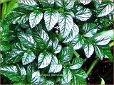 Angelica pachycarpa | Engelwortel