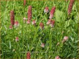 Sanguisorba officinalis 'Rock and Roll'   Pimpernel