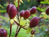 Hypericum androsaemum   Mansbloed
