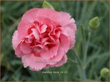 Dianthus 'Doris' | Anjer