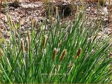 Carex acutiformis | Moeraszegge