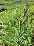 Carex acutiformis | Moeraszegge, Zegge