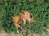 Nepeta faassenii | Kattekruid, Kattenkruid
