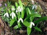 Galanthus woronowii   Glanzend sneeuwklokje