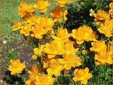 Trollius chinensis 'Golden Queen' | Kogelbloem, Globebloem
