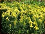 Solidago 'Little Lemon' | Guldenroede