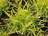 Santolina chamaecyparissus 'Lemon Fizz' | Heiligenbloem, Cipressenkruid
