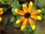 Rudbeckia triloba 'Prairie Glow'   Zonnehoed