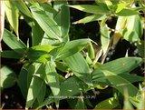 Pleioblastus pygmaeus | Dwergbamboe, Bamboe