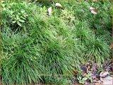 Ophiopogon japonicus | Slangenbaard, Japans slangengras