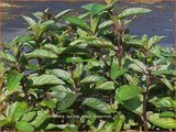 Mentha spicata 'Black Spearmint'   Groene munt, Kruizemunt, Marrokaanse munt, Munt