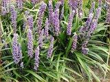Liriope muscari 'Lilac Wonder' | Leliegras