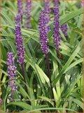 Liriope muscari 'Purple Passion'   Leliegras