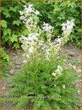 Filipendula vulgaris | Knolspirea
