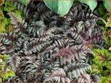 Athyrium niponicum 'Burgundy Lace'   Japanse regenboogvaren