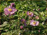 Anemone hupehensis 'Pocahontas'   Anemoon, Herfstanemoon, Japanse anemoon