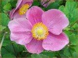 Anemone hybrida 'Bowles Pink' | Anemoon, Herfstanemoon, Japanse anemoon