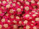 Achillea millefolium 'Red Velvet' | Duizendblad
