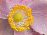 Anemone hupehensis 'Little Princess' | Anemoon, Herfstanemoon, Japanse anemoon