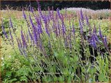 Salvia nemorosa 'Dear Anja' | Bossalie, Salie, Salvia | Steppensalbei