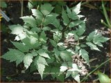 Actaea pachypoda 'Misty Blue' | Zilverkaars, Christoffelkruid