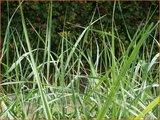 Ammophila breviligulata
