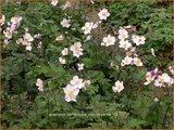 Anemone tomentosa 'Robustissima' | Anemoon, Herfstanemoon