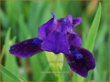 Iris 'Little Shadow' | Iris, Lis