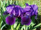 Iris 'Little Shadow' | Zwaardlelie, Iris, Lis