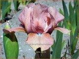 Iris 'Volts' | Iris, Lis
