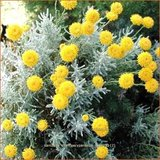 Santolina chamaecyparissus 'Nana' | Heiligenbloem, Cipressenkruid