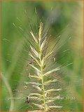 Pennisetum alopecuroides 'Gelbstiel' | LampenpoetsersgrasPennisetum alopecuroides 'Gelbstiel' | Lam