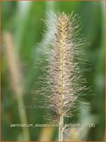 Pennisetum alopecuroides 'Gelbstiel' | Lampenpoetsersgras