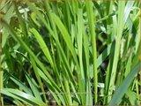 Calamagrostis acutiflora 'Waldenbuch' | Struisriet