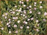 Gypsophila 'Jolien' | Gipskruid