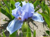 Iris pumila 'Blue Denim'_12