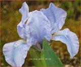 Iris 'Blue Denim'   Iris, Lis