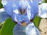 Iris 'Blue Denim'   Zwaardlelie, Iris, Lis