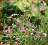 Sanguisorba officinalis 'Pink Tanna'   Pimpernel, Sorbenkruid