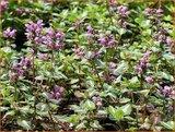 Lamium maculatum 'Chequers' | DovenetelLamium maculatum 'Chequers' | Dovenetel