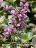 Lamium maculatum 'Chequers' | Dovenetel