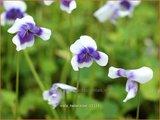 Viola hederacea   Klimop viooltje, Viooltje