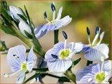 Veronica gentianoides | Gentiaan-ereprijs, Ereprijs