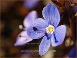 Veronica peduncularis 'Georgia Blue' | Ereprijs