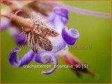 Trachystemon orientalis