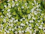 Thymus praecox 'Albiflorus'   Kruiptijm, Tijm