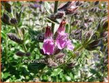 Teucrium lucidrys | Gamander