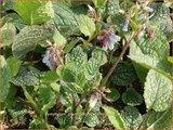 Symphytum grandiflorum 'Wisley Blue'   Smeerwortel