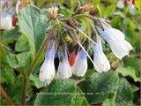 Symphytum grandiflorum 'Hidcote Blue'   Smeerwortel