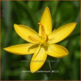 Sisyrinchium californicum | Bieslelie